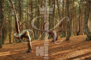 Куршская коса, танцующий лес - фото 2