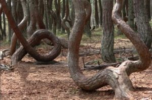 Куршская коса, танцующий лес - фото 4