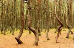 Куршская коса, танцующий лес - фото 5