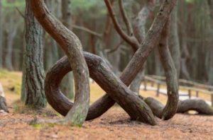 Куршская коса, танцующий лес - фото 6