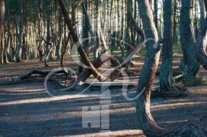 Куршская коса, танцующий лес - фото 7